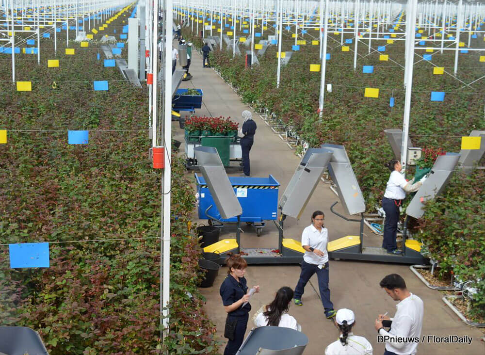 RHC rose harvest carts in roses greenhouse